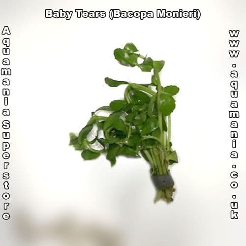 Baby tears (Bacopa Monieri / Crenata) - Live Aquatic / Fish Plant