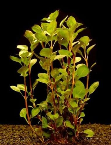 Green Ludwigia (Ludwigia Palustris) - Live Aquatic / Fish Plant