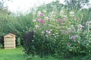 Eupatorium mixed seed collection