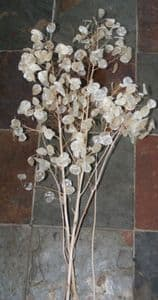 Honesty 'Silver penny' seed heads