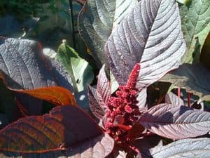 Hopi Red Amaranth NEW!