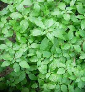Pellitory-of-the-Wall