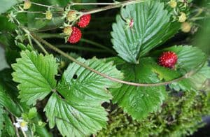wild or 'Alpine' strawberry