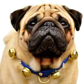 Big Bell dog Collars with Gold Bells and fittings