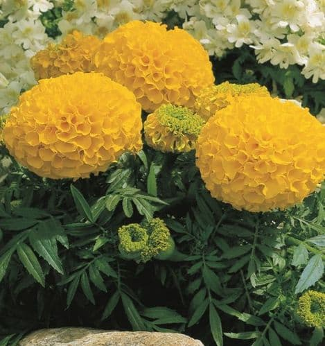 African Marigold F1 Gold